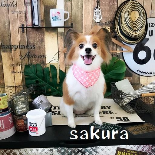 sakura 吉田