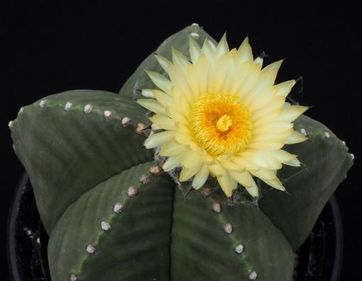 ヘキラン大きな花