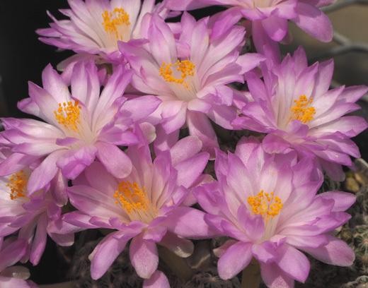 テレサエの花