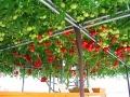えこりん村・トマトの木