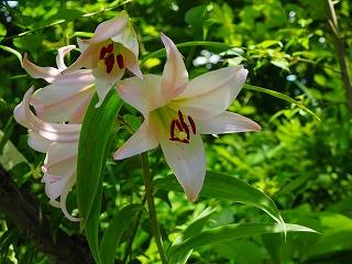 ササユリの花・(5・29)森さん