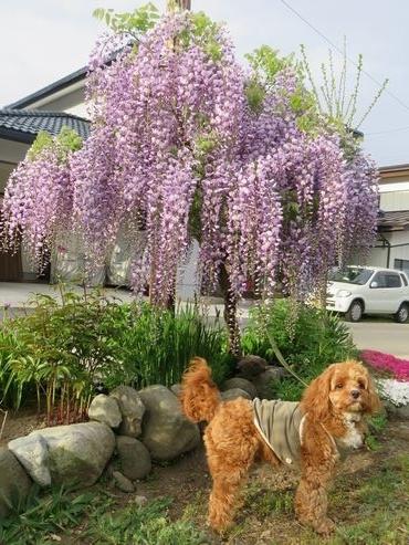 IMG_8754藤の花