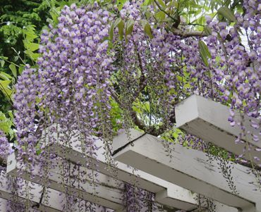 IMG_8763藤の花