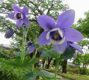 IMG_8786紫オダマキ