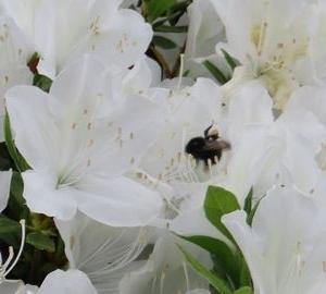 IMG_9130クマバチ