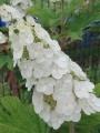 IMG_0103柏葉紫陽花