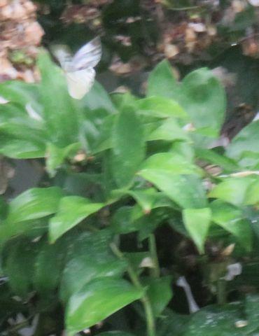 IMG_0268白い蝶