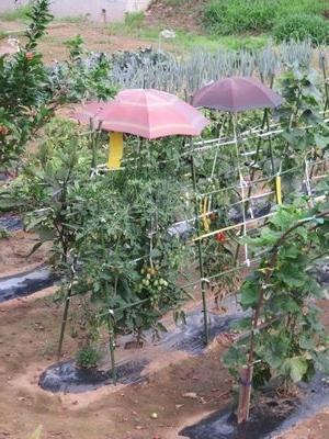 IMG_0716トマトに傘