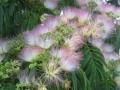 IMG_0740ねむの木