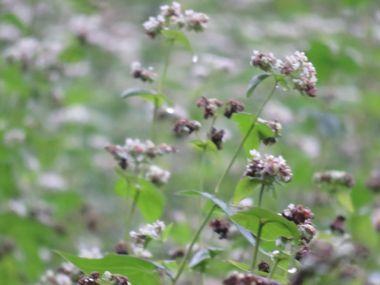 IMG_1617ソバの花