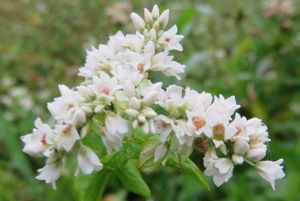 IMG_1625ソバの花