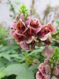 IMG_1674葛の花
