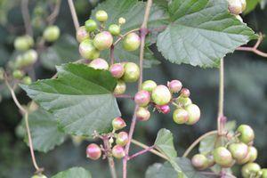 DSC_0014野葡萄