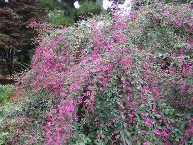IMG_2413萩の花