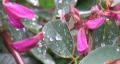 IMG_2414萩の花