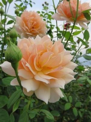 IMG_2653薔薇