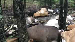 cows-struck-lightning-missouri-5.jpg