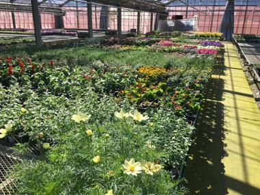 花と食のマルシェ 鳥山ガーデン サフィニア 南知多 花屋 花夢