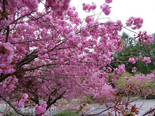 高原の八重桜