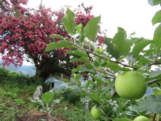 リンゴとサルスベリ