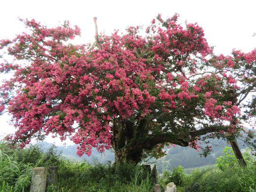 樹齢200年 サルスベリ