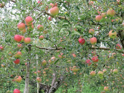 リンゴ並木が!!