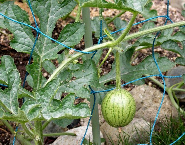 家庭菜園03