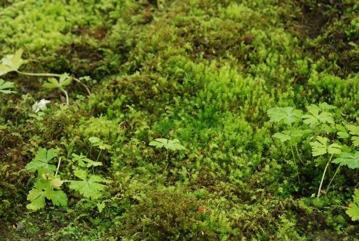 ロウバイの樹下苔34