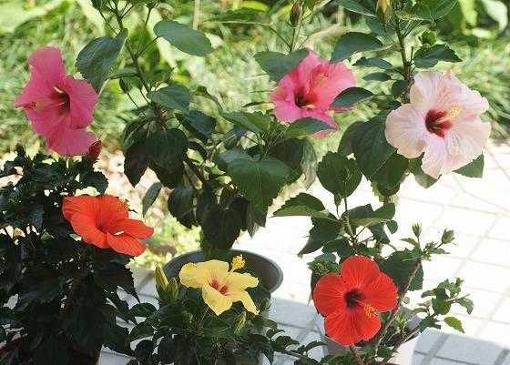170613ハイビスカス五種咲き