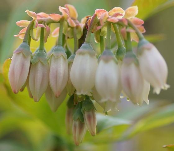 170421ブルーベリー花