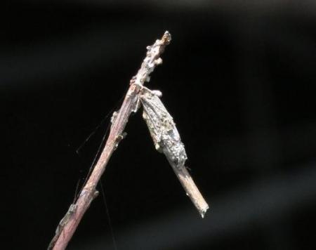 黄色い花蓑虫・コフキトンボ 008