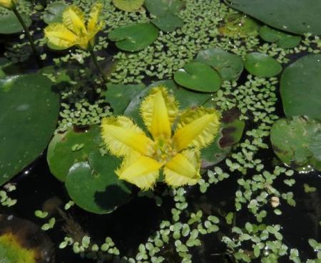 アサザの花 057