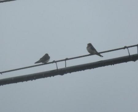 梅雨と燕 001