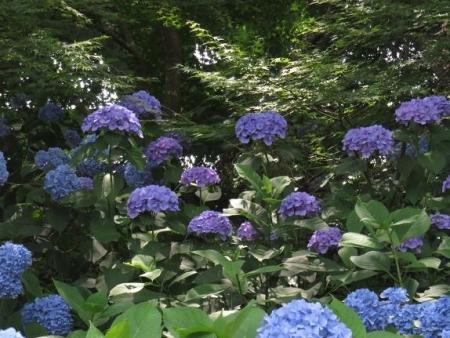 清水山ユキノシタ花 129