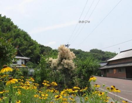 清水山ユキノシタ花 134