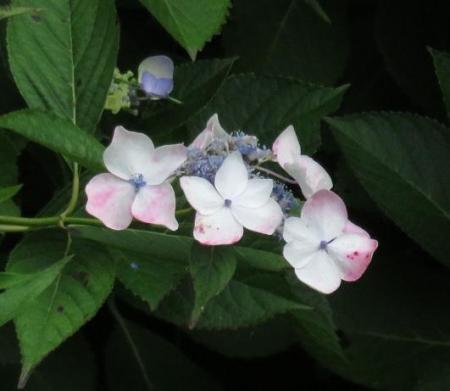 ムラサキシジミの産卵 076