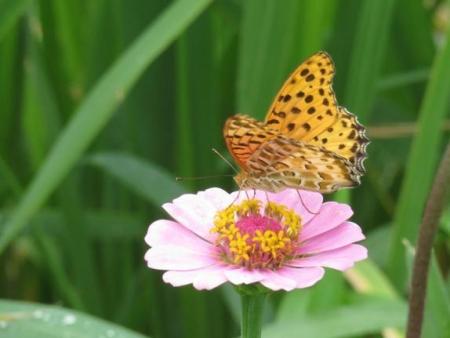 ヤブガラシと蝶 017