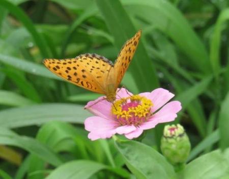 ヤブガラシと蝶 024