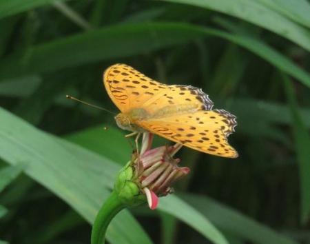 ヤブガラシと蝶 035