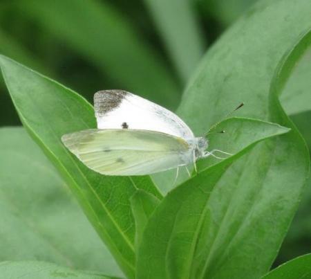 ヤブガラシと蝶 042