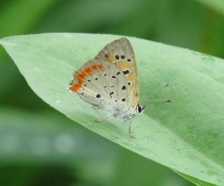ヤブガラシと蝶 040