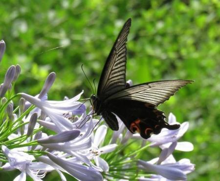 お花の蝶 067