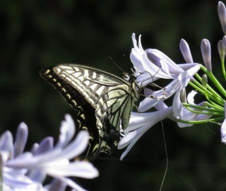 お花の蝶 061