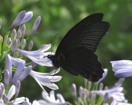 お花の蝶 110
