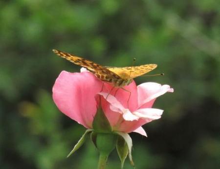 お花の蝶 040