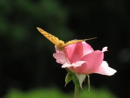 お花の蝶 042