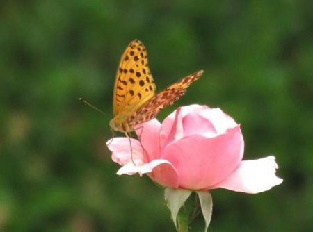 お花の蝶 032