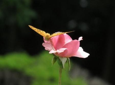 お花の蝶 046