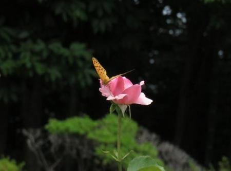 お花の蝶 045
