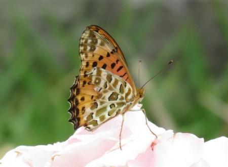 お花の蝶 008